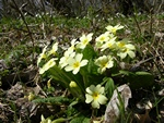 Storblomstret Kodriver (Primula vulgaris)